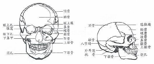 脸部的骨骼肌肉结构及面部审美,又快又好