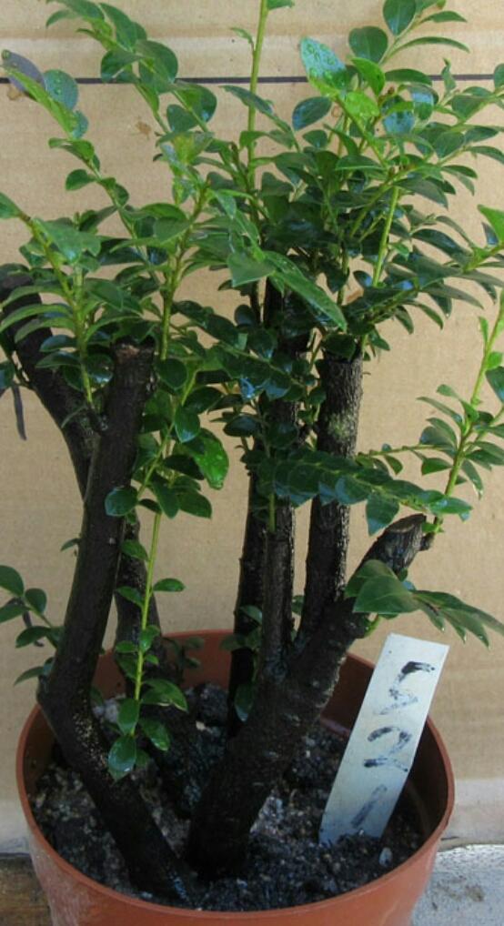 怎么养护小叶紫檀盆景
