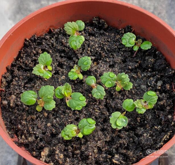 如何盆栽草莓?——有效提高发芽率的纸巾育苗法