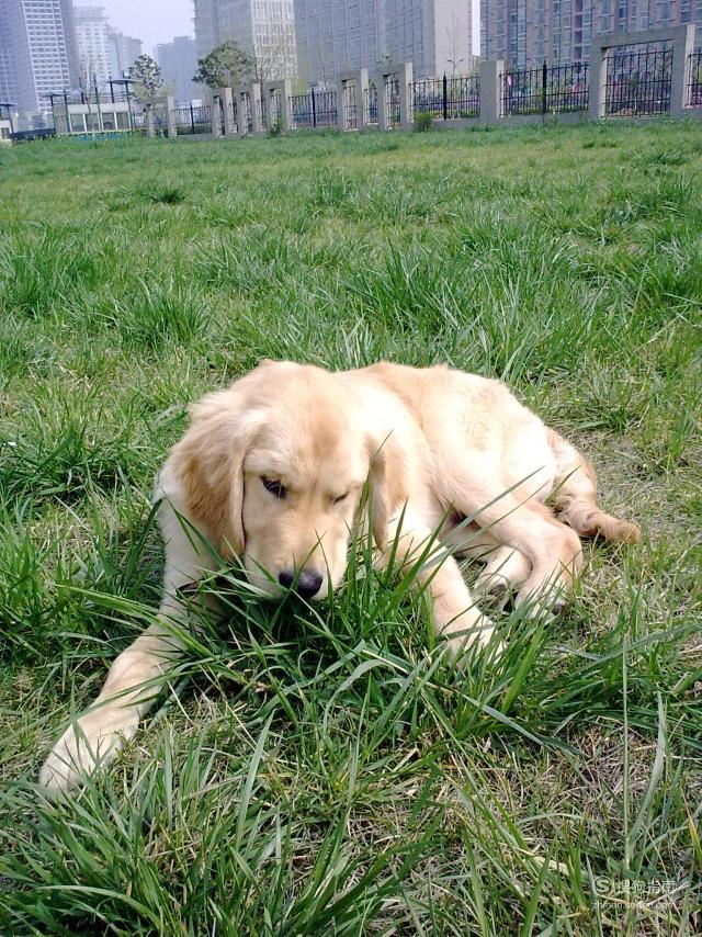 狗狗为什么爱吃草?,原来是这样的