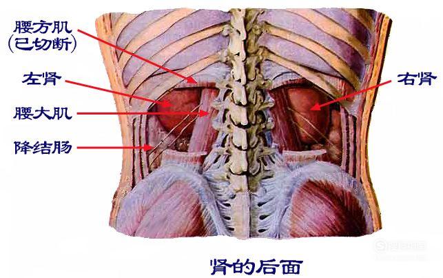 右肾疼是怎么回事?如何判断右肾部位疼痛的病因 详细始末