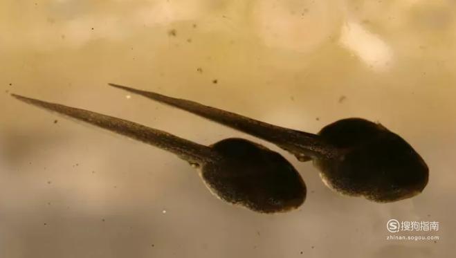 怎么区分小蝌蚪长大后是青蛙还是癞蛤蟆?