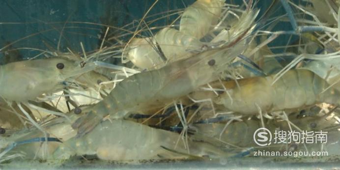 活皮皮虾怎么保存过夜