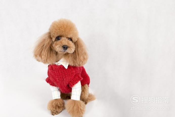 泰迪狗狗毛发护理的注意事项,值得一看