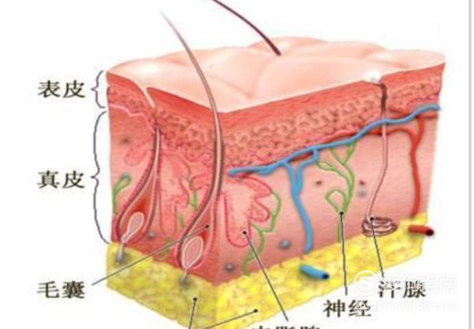 皮肤的基础知识