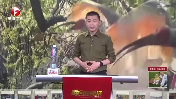 陕西洋县:场面激烈  朱鹮上演争巢大战