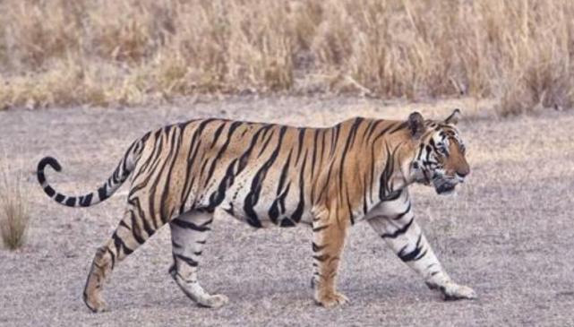 魔域私服发布网刚刚开一秒把老虎搬到非洲大草原上去,它们还活地下去吗?网友:可怕的不是狮子