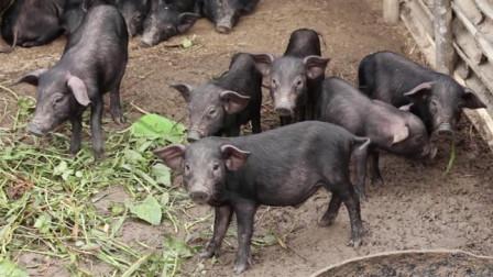 为何猪瘟不会传染给人,还要捕杀呢?看完算是涨知识了