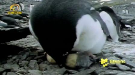 小企鹅正在破壳,贴心的企鹅妈妈全程守护,这是母性的本能!