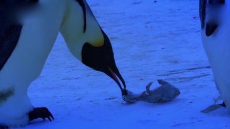 企鹅宝宝被冻死 母亲仍苦苦守护