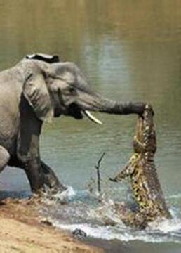 非洲鳄鱼攻击剧照