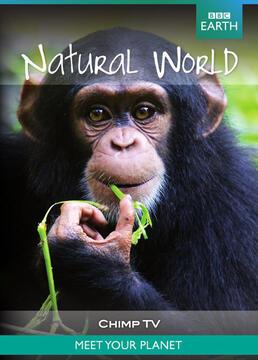 黑猩猩拍电视剧照