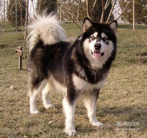 """为什么萨摩耶犬,阿拉斯加,哈士奇是雪橇三傻"""""""